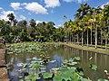 Nelumbo nucifera pond Mauritius 2019-09-27 3.jpg