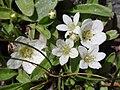 Nemophilaspatulata.jpg
