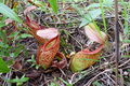 Nepenthes holdenii2.jpg
