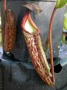 Nepenthes maxima.jpg