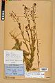 Neuchâtel Herbarium - Camelina microcarpa - NEU000022965.jpg