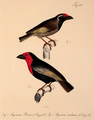 Neue Wirbelthiere zu der Fauna von Abyssinien gehörig (1835) Lybius undatus & Lybius guifsobalito.png