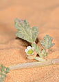 Neurada procumbens flower 1.jpg
