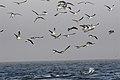 New 8306 white shark predation JF.jpg
