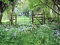Newton-by-Tattenhall - wild garlic beside the Eddisbury Way - geograph.org.uk - 804813.jpg