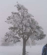 Ice-covered pine tree; the result of an ice fog.