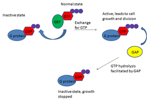 GTPase-activating protein - Normally, G proteins are regulated by GAP, which results in controlled cell division.