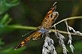 Northern Crescent (Phyciodes cocyta) - Guelph, Ontario 02.jpg