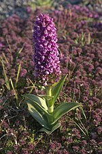 Northern Marsh Orchid (Dactylorhiza purpurella), Baltasound - geograph.org.uk - 1366196.jpg