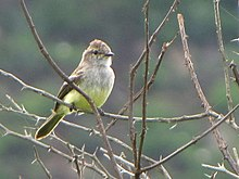 Northern Scrub Flycatcher.jpg