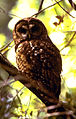 Northern Spotted Owl (8434206032).jpg