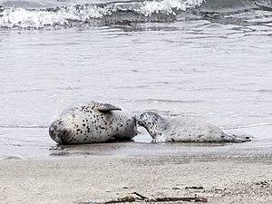 MacKerricher State Park - Harbor Seal nursing her  pup, MacKerricher Beach
