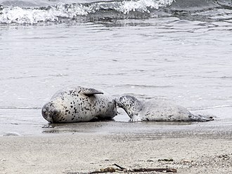 MacKerricher State Park - Harbor seal nursing her pup on MacKerricher Beach