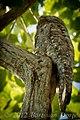 Nyctibius grandis perched.jpg