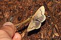 Nygmia poppaena (Lymantriidae- Nygmininae) (5641263063).jpg