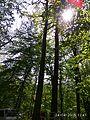 Oak tree near Gaydamatskyi stav 3.jpg