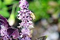 Ocimum basilicum Purple Delight 1zz.jpg