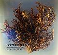 Odonthalia corymbifera - National Museum of Nature and Science, Tokyo - DSC07644.JPG