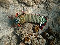 Odontodactylus scyllarus bis.jpg