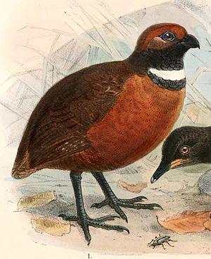 Rufous-fronted wood quail - Image: Odontophorus erythrops parambae 1897
