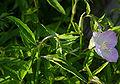 Oenothera speciosa Siskiyou E.jpg
