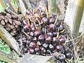 Oil Palm Fruit.JPG