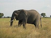 Botswana dünyanın en büyük fil nüfusuna sahiptir