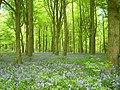 Old Down Wood bluebells 01.JPG