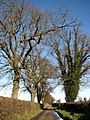 Old trees line the road to Ingworth - geograph.org.uk - 653355.jpg