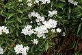 Oleander Nerium oleander L IMG 3639 1725.jpg