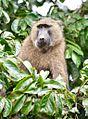 Olive Baboon, Uganda (15059248868).jpg