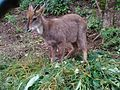 One of the species of Goral.jpg