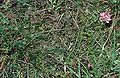 Onobrychis arenaria1.jpg