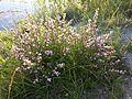 Ononis spinosa subsp. spinosa sl3.jpg
