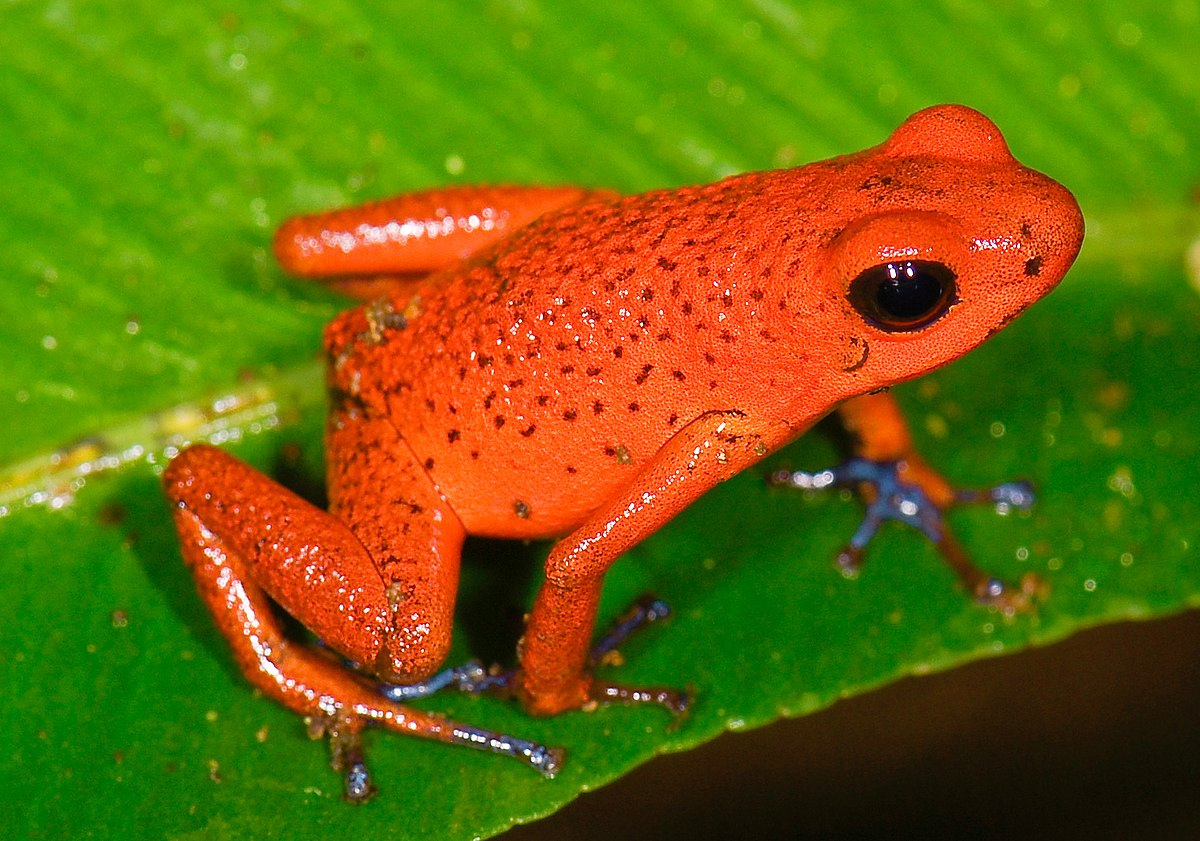 Strawberry poison-dart frog - Wikipedia