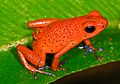 Oophaga pumilio (Strawberry poision frog) (2532163201).jpg