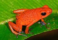 צפרדע עץ תותית