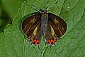 Open wing position of Male Heliophorus brahma Moore, 1857 – Golden Sapphire DSC 5656.jpg
