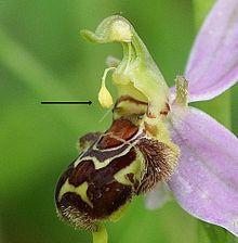 Autoimpollinazione in Ophrys apifera. La freccia indica un pollinio ripiegato sullo stigma.