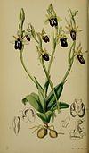 Ophrys insectifera - Moggridge - Flora of Mentone pl. 43 (1871).jpg
