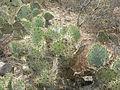 Opuntia stricta (5692754840).jpg