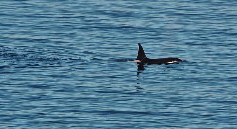 File:Orcas IMG 2566 (28145522080).jpg
