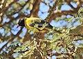 Oriolus larvatus -Hells Gate National Park, Naivasha, Kenya-8.jpg