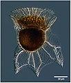 Ornithocercus Magnificus image.jpg