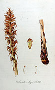 Orobanche major — Flora Batava — Volume v11.jpg