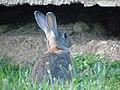 Oryctolagus cuniculus.012 - Culleredo.jpg