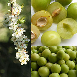 meaning of greengage