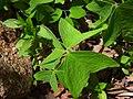 Oxalis obtriangulata 3.JPG