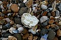 Oyster shell on beach.JPG