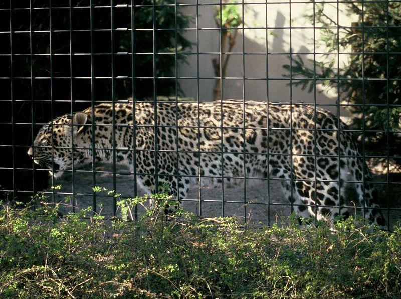 """Panthère de Perse aux taches de jaguar - """"P.p.saxicolor-Wilhelma1"""" by Altaipanther - Own work. Licensed under Public Domain via Wikimedia Commons - https://commons.wikimedia.org/wiki/File:P.p.saxicolor-Wilhelma1.jpg#/media/File:P.p.saxicolor-Wilhelma1.jpg"""